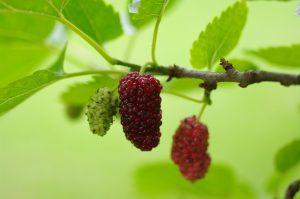abnehmen-glucoburner-maulbeere
