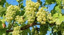 Weintrauben Diät mit der Süße der Traube