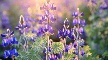 Lupinenmehl als pflanzlicher Proteinlieferant