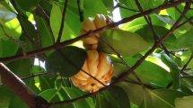 Garcinia Cambodia zum Abnehmen